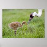 USA, Florida, Lake Kissimmee. Whooping crane Poster