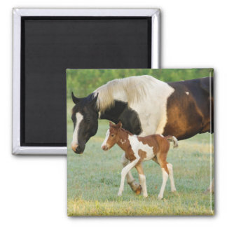 USA, Florida, Newborn Paint filly Magnet