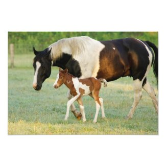 USA, Florida, Newborn Paint filly