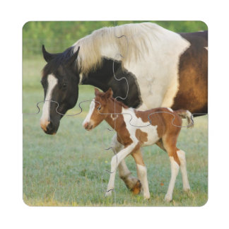 USA, Florida, Newborn Paint filly Puzzle Coaster