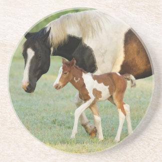 USA, Florida, Newborn Paint filly Sandstone Coaster