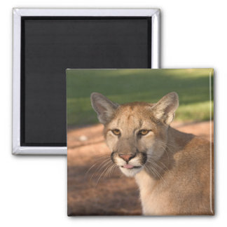 USA, Florida panther (Felis concolor) is also 2 Inch Square Magnet