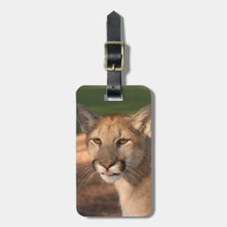 USA, Florida panther (Felis concolor) is also Bag Tag