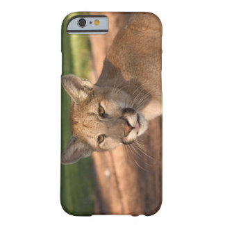 USA, Florida panther (Felis concolor) is also Barely There iPhone 6 Case