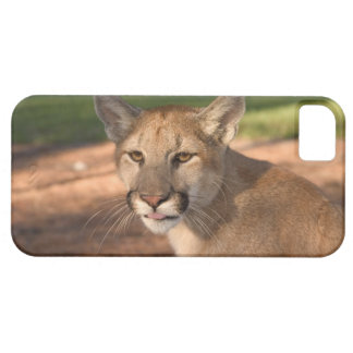 USA, Florida panther (Felis concolor) is also iPhone 5 Cases