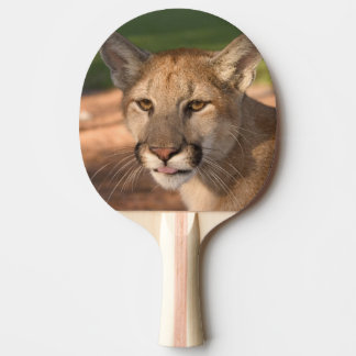 USA, Florida panther (Felis concolor) is also Ping Pong Paddle