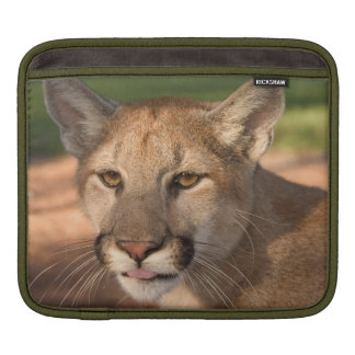 USA, Florida panther (Felis concolor) is also iPad Sleeve