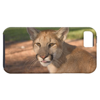 USA, Florida panther (Felis concolor) is also iPhone SE/5/5s Case