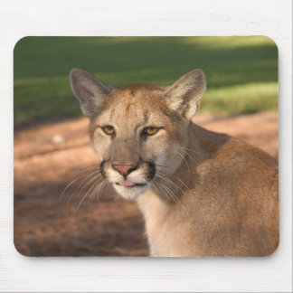 USA, Florida panther (Felis concolor) is also Mouse Pad