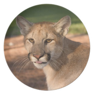 USA, Florida panther (Felis concolor) is also Dinner Plates