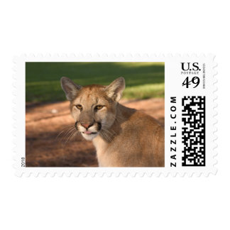 USA, Florida panther (Felis concolor) is also Postage Stamps