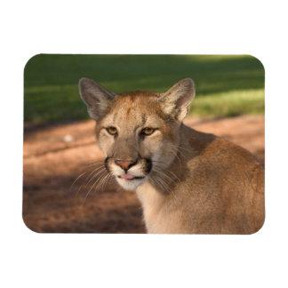 USA, Florida panther (Felis concolor) is also Rectangular Photo Magnet