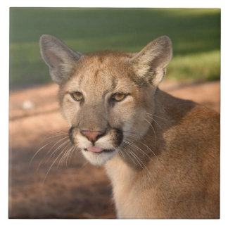 USA, Florida panther (Felis concolor) is also Tile