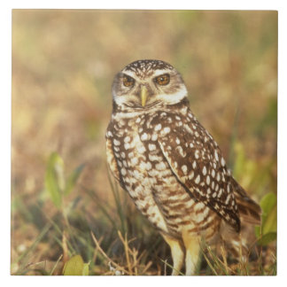 USA, Florida, Pompano Beach. A burrowing owl in Tile