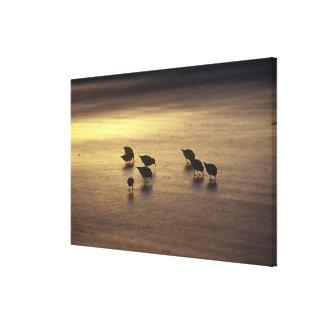 USA, Florida, Sanderlings Canvas Print