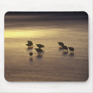USA, Florida, Sanderlings Mouse Pad