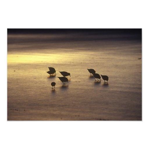 USA, Florida, Sanderlings Photographic Print