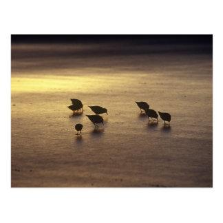 USA, Florida, Sanderlings Postcard