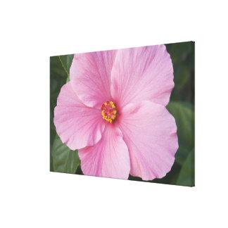 USA, Florida, Sanibel, Hibiscus Rose of Canvas Print