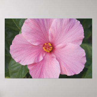 USA, Florida, Sanibel, Hibiscus Rose of Poster