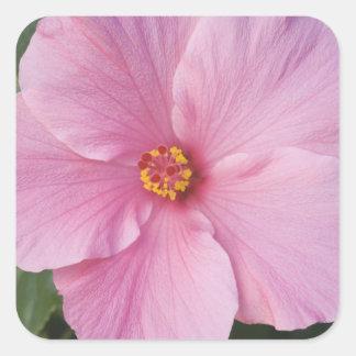 USA, Florida, Sanibel, Hibiscus Rose of Square Sticker