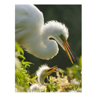 USA, Florida, St. Augustine, Alligator farm Postcard