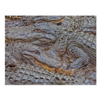 USA, Florida, St. Augustine, Alligators 2 Postcard
