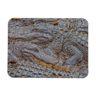 USA, Florida, St. Augustine, Alligators 2 Rectangular Photo Magnet