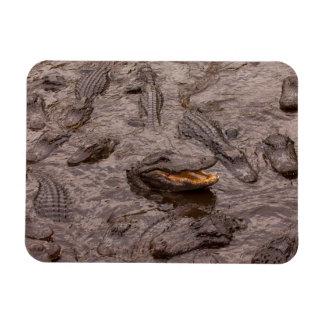 USA, Florida, St. Augustine, Alligators Rectangular Photo Magnet
