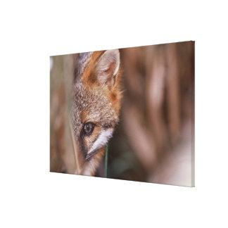 USA, Florida, Swamp Fox Stretched Canvas Print