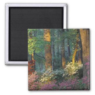 USA, Georgia, Callaway Gardens, Azalea forest. 2 Inch Square Magnet