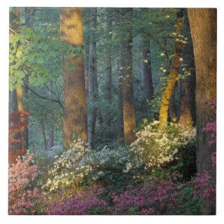USA, Georgia, Callaway Gardens, Azalea forest. Ceramic Tile