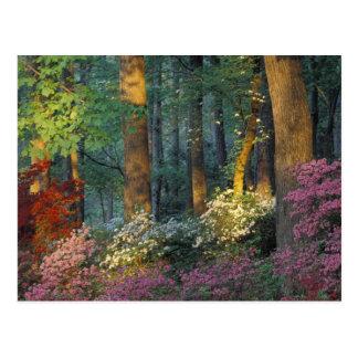 USA, Georgia, Callaway Gardens, Azalea forest. Postcard