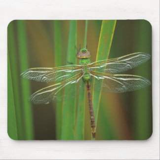 USA, Georgia. Green darner dragonfly on reeds Mouse Pad