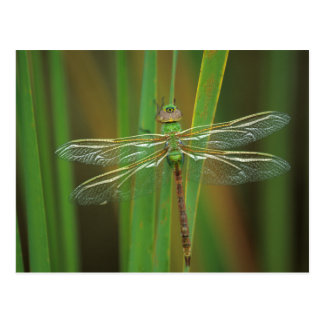 USA, Georgia. Green darner dragonfly on reeds Postcard