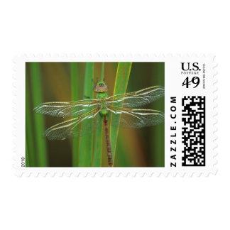 USA, Georgia. Green darner dragonfly on reeds Stamp