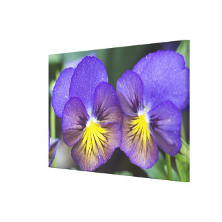 USA, Georgia, Pine Mountain. A closeup of pansy Canvas Print