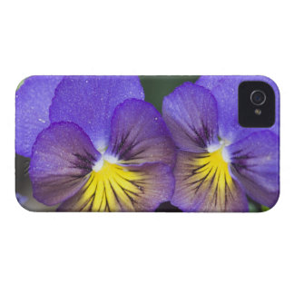 USA, Georgia, Pine Mountain. A closeup of pansy iPhone 4 Case-Mate Cases