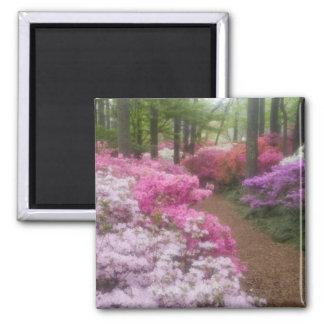 USA; Georgia; Pine Mountain. Azaleas at 2 2 Inch Square Magnet