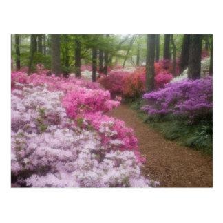 USA; Georgia; Pine Mountain. Azaleas at 2 Postcard