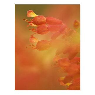 USA Georgia Savannah buckeye flower abstract Postcard