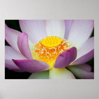 USA, Georgia, Savannah, Close-Up Of A Lotus 2 Poster