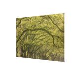 USA; Georgia; Savannah. Oak trees with Canvas Prints