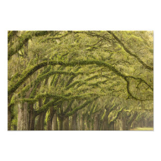 USA; Georgia; Savannah. Oak trees with Photo Print