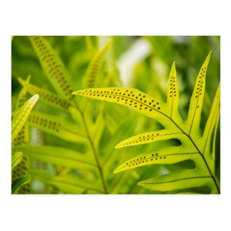 USA, Hawaii, Big Island. Tropical Green Fern Postcard