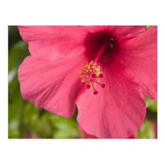 USA, Hawaii, Kauai, Hibiscus Postcard