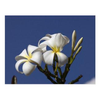 USA, Hawaii, Kauai, white plumeria. Postcard
