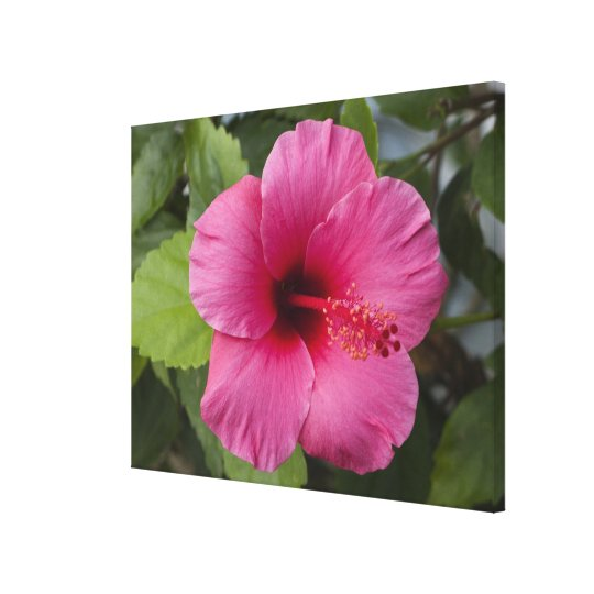 USA, Hawaii, Oahu. The Hibiscus is the 2 Canvas Print