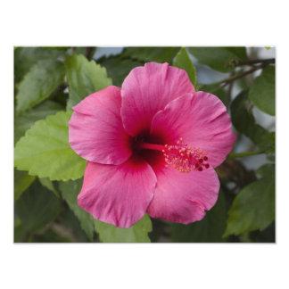 USA, Hawaii, Oahu. The Hibiscus is the 2 Photo Print