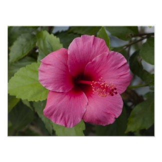 USA, Hawaii, Oahu. The Hibiscus is the 2 Poster